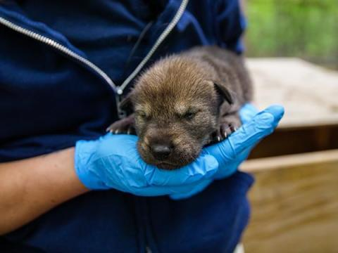 Red wolf pup born April 2020 at NC Zoo