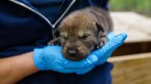 IMAGE: Baby news! NC Zoo welcomes five red wolf pups