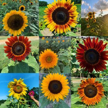 Sunflowers for Hill Ridge Farms