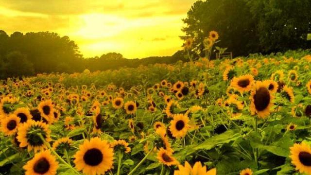 Sunflowers at Hill Ridge Farms