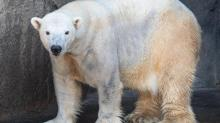 IMAGES: N.C. Zoo hopes for love connection as it introduces new male polar bear