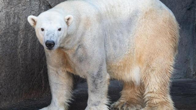 Payton, the polar bear, at the N.C. Zoo