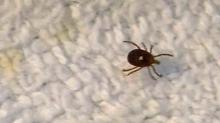 IMAGE: Dog ticks pose greatest disease threat in NC