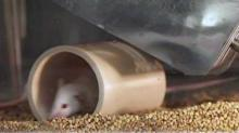IMAGE: Mouse experiments show pill could prevent HIV infection