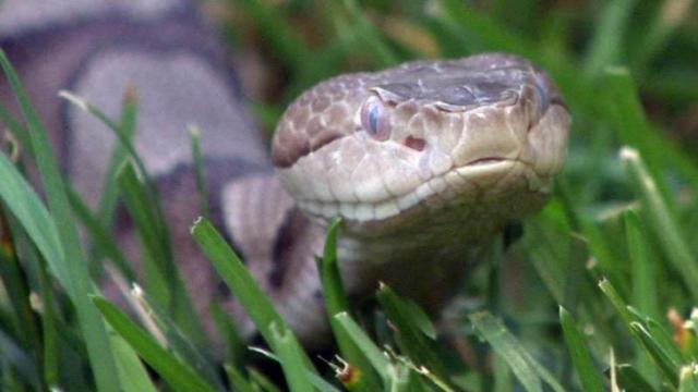 North Carolina leads the nation in the number of people bitten annually by snakes, both venomous and non-venomous.