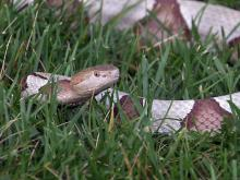 Snake bites common in N.C.