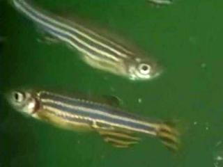 Tiny, striped tropical fish could hold the help needed by people with a rare, fatal, hormonal disorder with few treatment options.