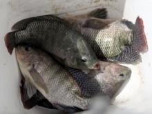 Brazil doctors heal burn victims with fish skin