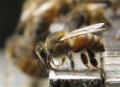 IMAGE: Bee, wasp venom shortage could be dangerous for those with allergies