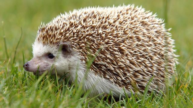 The CDC is investigating multistate salmonella outbreaks tied to pet hedgehogs and bearded dragons