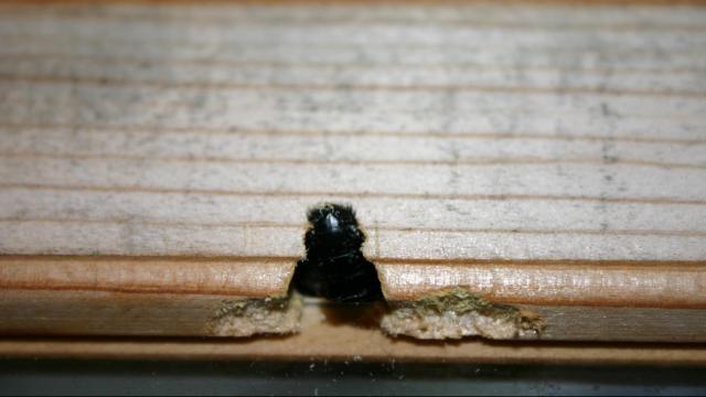 Carpenter Bee in the Door