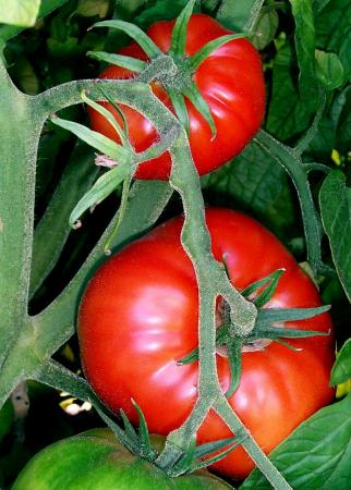 Ripened tomatoes on the vine are a lovely sight. Photo from wikipedia.com.