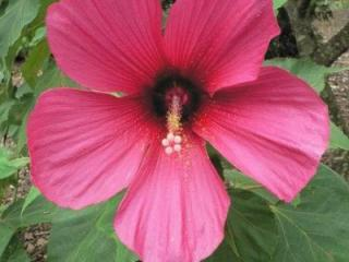 Hibiscus 'Moy Grande', or rose mallow, can be found at the JC Raulston Arboretum. Photo from www.ncsu.edu/jcraulstonarboretum/index.php.