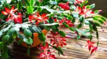 IMAGE: What To Know About The Thanksgiving Cactus And The Christmas Cactus