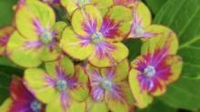 IMAGE: 'Pistachio' Hydrangeas Add The Perfect Pop Of Color To Your Garden