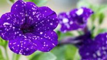 IMAGE: These Night Sky Petunias Will Fill Your Garden With Stars
