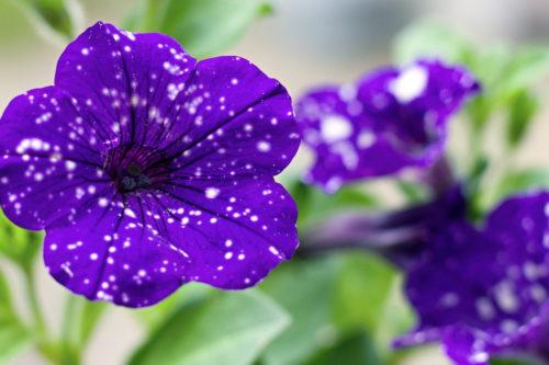 These Night Sky Petunias Will Fill Your Garden With Stars (Simplemost Photo)