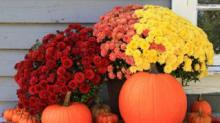 IMAGE: How To Keep Fall Container Mums Growing Through The Winter So You Can Enjoy Them Again Next Spring