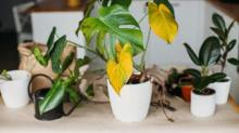 IMAGE: 7 Reasons Houseplants Turn Yellow And How To Fix Them