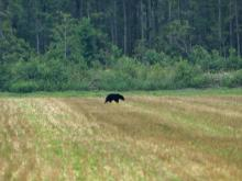 Bear sighting at the Alligator River National Wildlife Refuge in Manteo.