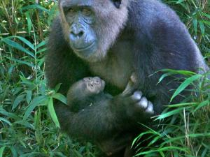 Female gorilla Olympia cuddles her newborn on their first day on exhibit at the North Carolina Zoo on Saturday, Sept. 1, 2012. (Photo courtesy of Juan Villa/N.C. Zoo)