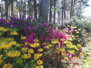 The azaleas started blooming in the WRAL Azalea Gardens on April 4, 2017.