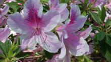 IMAGES: Azaleas bloom in WRAL gardens
