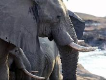 Dying elephant gets fatal revenge on hunter