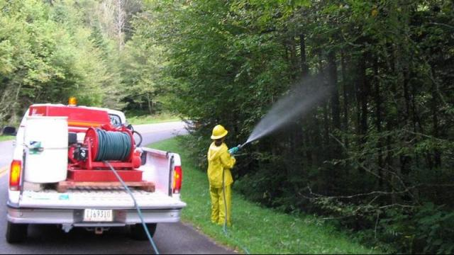 Cherie Cordell, bioscience technician with the Great Smoky Mountains National Park, sprays Fraser firs with insecticidal soap