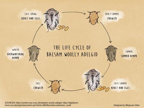 The life cycle of Balsam Woolly Adelgid