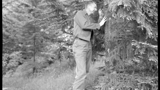 Hoover Lambert, an entomologist with the U.S. Forest Service, checks a Fraser fir tree for balsam woolly adelgid in the summer of 1965