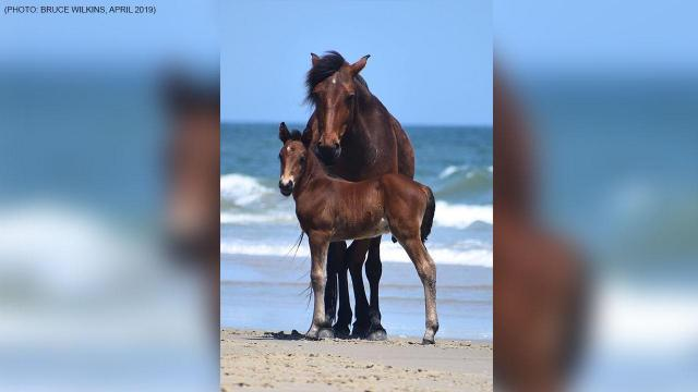 A wild horse died Friday when it choked on an apple a human left on the beach, according to the Corolla Wild Horse Fund. Credit: Bruce Wilkins
