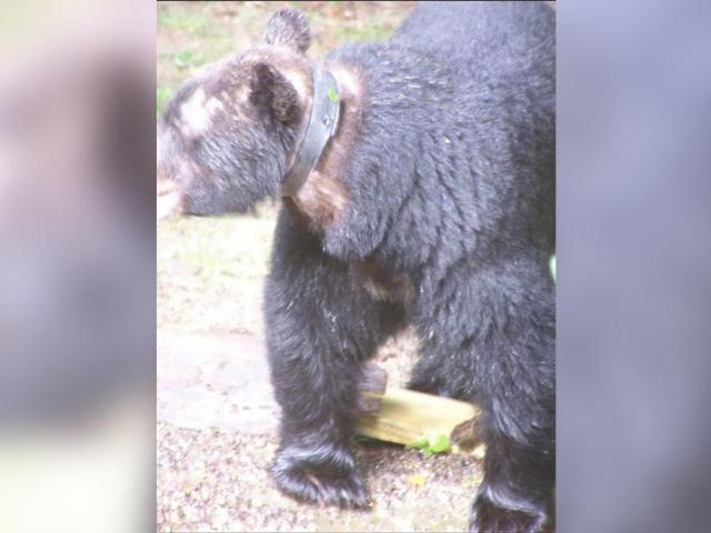 Bear spotted near Asheville with plastic around its neck (posted by Help Asheville Bears)