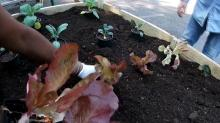 IMAGE: Gardens for Everyone project teaches residents to grow and prepare vegetables