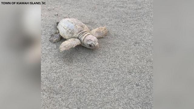 Rare white sea turtle hatchling found on South Carolina beach