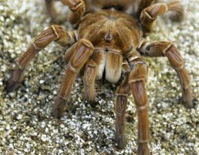 A Goliath Birdeater Tarantula Spider is shown in this close-up view Sept. 26, 2007 at Tarantulas.com in Edmonds, Wash., near Seattle. Breeders say that the spiders are easy to care for as pets, and their fearsome reputation is vastly exaggerated. (AP Photo/Ted S. Warren)