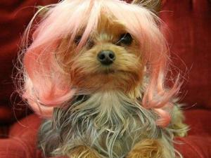 This undated handout photo provided by Wiggles Dog Wigs by Ruth Regina shows a Yorkshire Terrier wearing a wig designed by Regina. (AP Photo/Wiggles Dog Wigs by Ruth Regina)