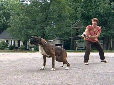 Marj Santoro tries to walk Mugsy, a 95-pound Boxer, on a leash.