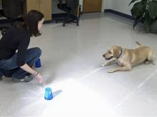 Harper, Debra Morgan's lab, takes part in a study at the Canine Cognition Center.