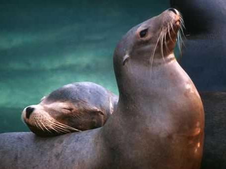 Abby, a 21-year-old female sea lion (foreground), is pictured with former exhibit mate Joey. (N.C. Zoo photo by Tom Gillespie)