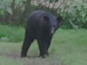 A female black bear was spotted in some woods off South Saunders Street in Raleigh on May 19, 2011. (Photo courtesy of Duane Forkey)