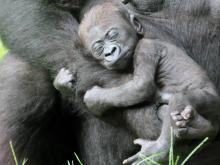 Nap time at NC Zoo
