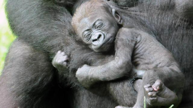 Bomassa, the first of two baby gorillas born at the North Carolina Zoo in August, naps on its mother's arm. Bomassa and a second, yet unnamed, infant can be seen daily at the zoo's Forest Glade exhibit.