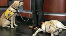 IMAGE: Service dogs: Real or Fake?