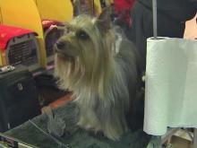 Prestige of Westminster turns up pressure on dogs, judges