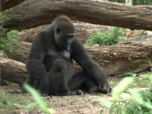 Mother and baby play together at the NC Zoo.