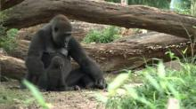 IMAGES: NC Zoo gorillas celebrate first birthdays