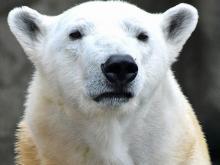Polar bear Anana at Lincoln Park Zoo