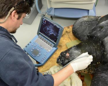 South Carolina scientists are getting a close look at a rare find – a 500-pound leatherback sea turtle, found stranded but alive Saturday on Yawkey South Island Reserve near Georgetown. (photos courtesy South Carolina Aquarium)