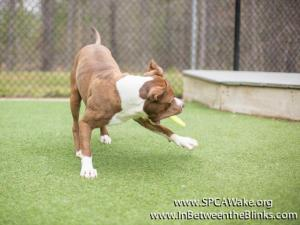 Mojo is a 3-year-old American Staffordshire Mix available at the Wake SPCA